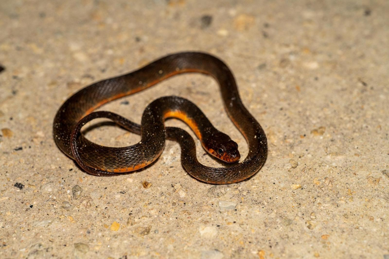 Plain-bellied Water Snake Photo by Jacob Zadik