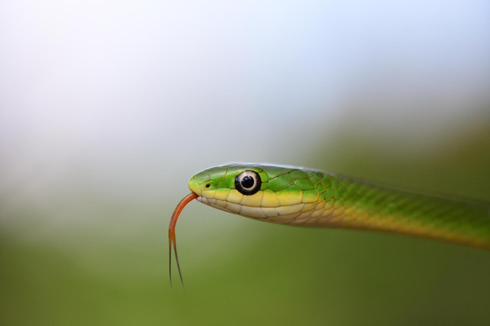 Rough Green Snake Photo by Jacob Zadik