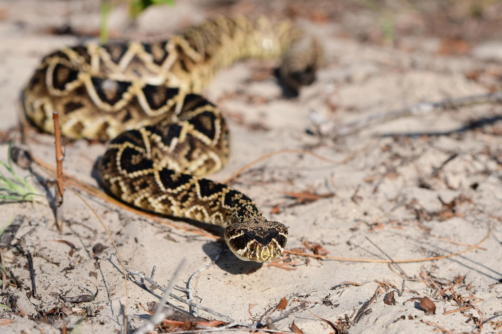 Eastern Diamondback Rattlesnake Photo by Jacob Zadik