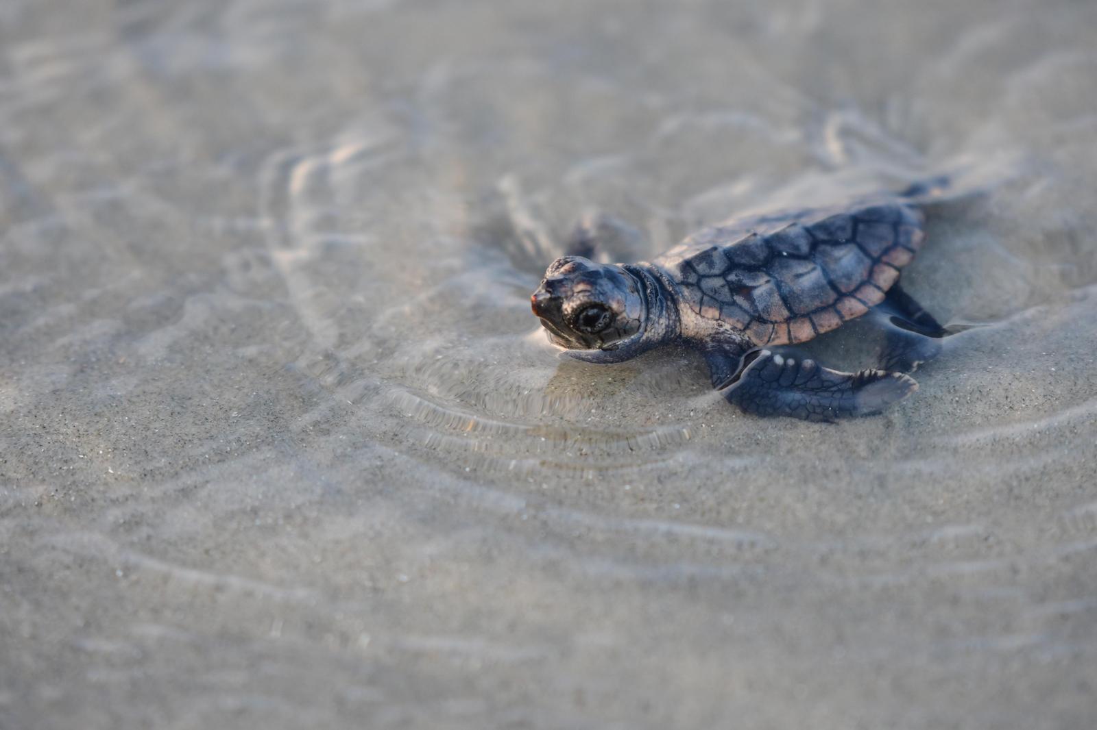 Loggerhead Sea Turtle Photo by Jacob Zadik