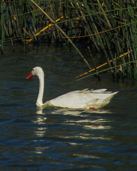 Coscoroba Swan