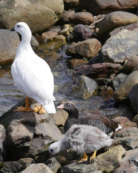 Kelp Goose