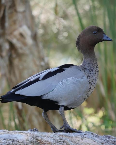 Maned Duck