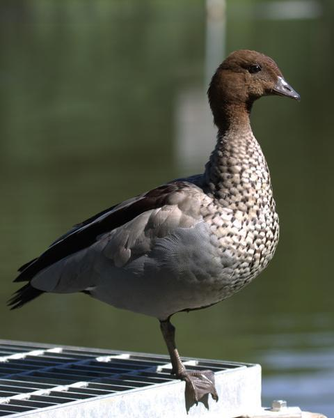 Maned Duck