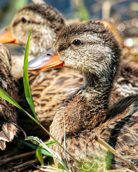 Mallard/Mexican Duck