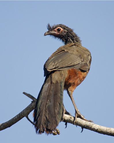 Rufous-bellied Chachalaca