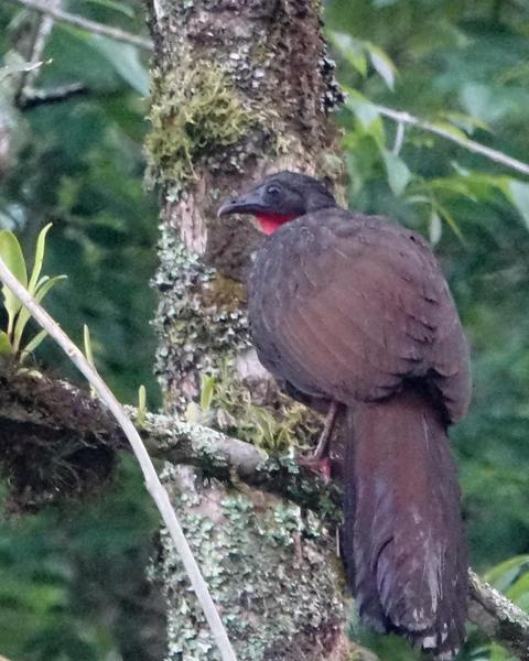 Cauca Guan