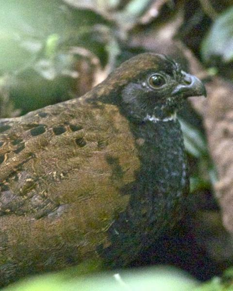Black-breasted Wood-Quail