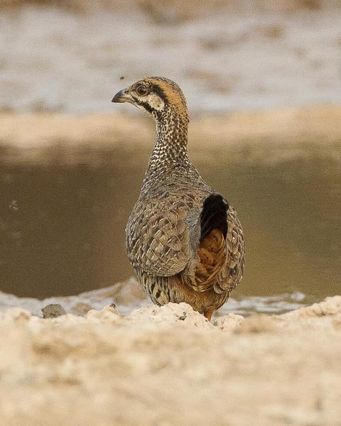 Chinese Francolin