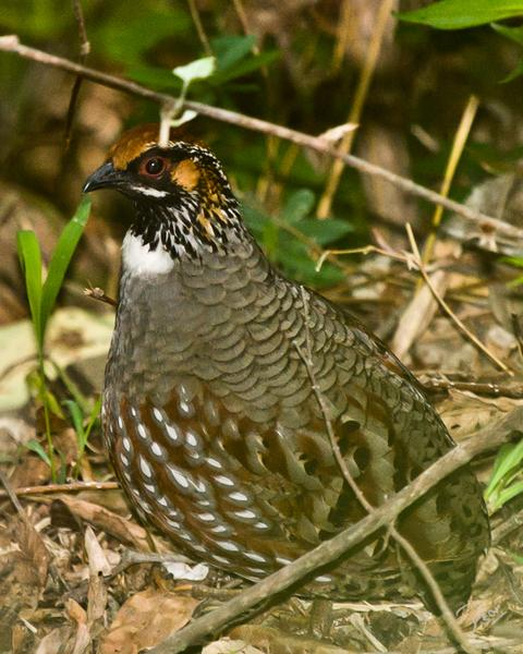 Hill Partridge
