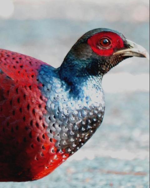 Hume's Pheasant