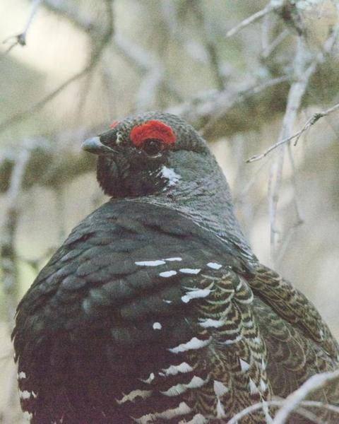 Spruce Grouse (Franklin's)