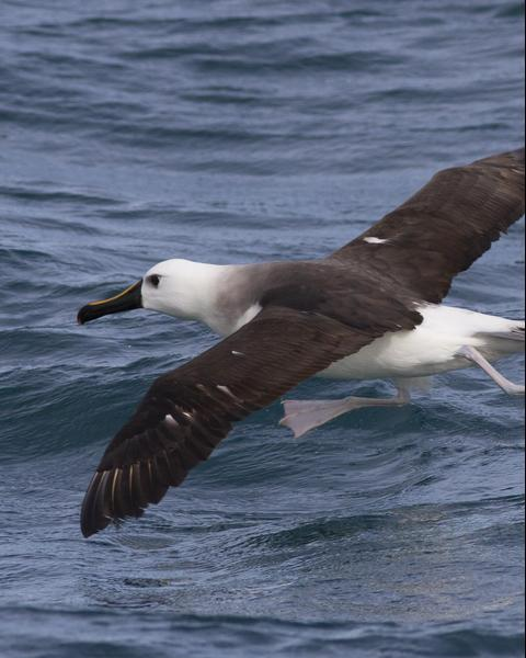 Yellow-nosed Albatross (Atlantic)
