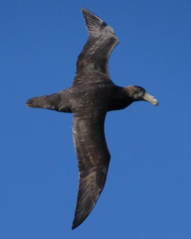 Southern Giant-Petrel