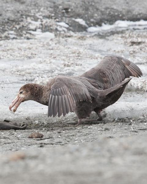 Northern Giant-Petrel