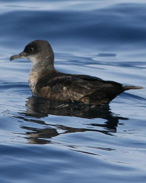 Short-tailed Shearwater