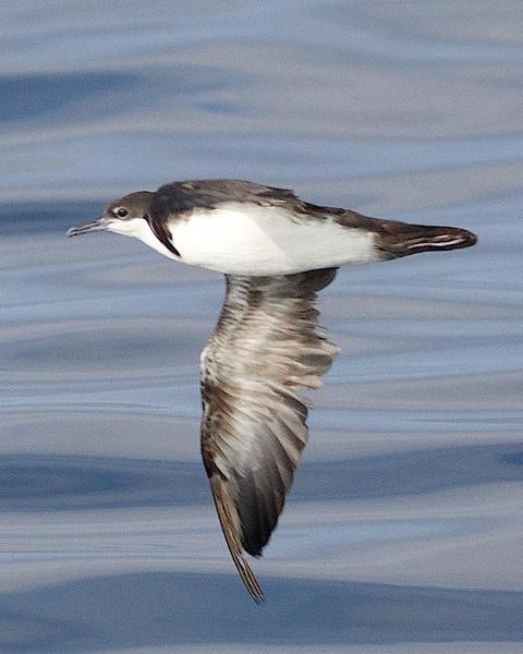 Audubon's Shearwater