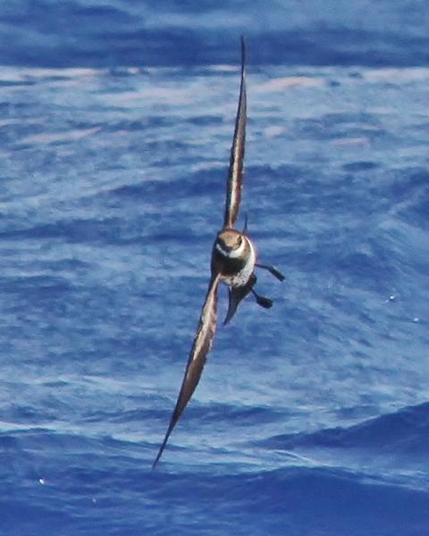 Polynesian Storm-Petrel