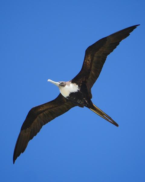 Great Frigatebird