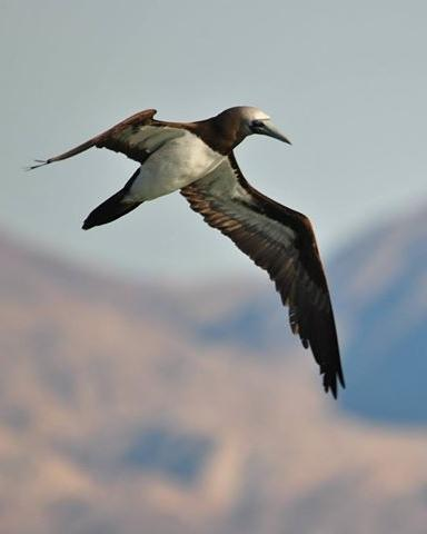 Brown Booby (Brewster's)
