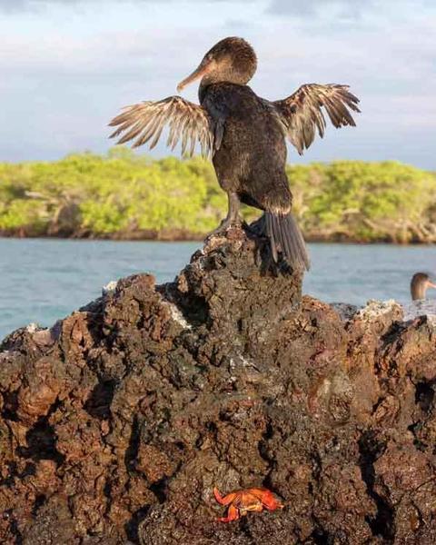 Flightless Cormorant