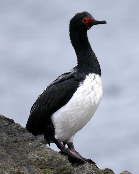 Magellanic Cormorant
