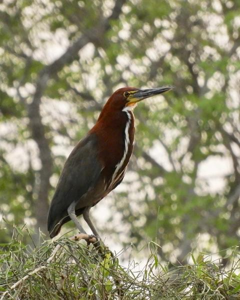 Rufescent Tiger-Heron