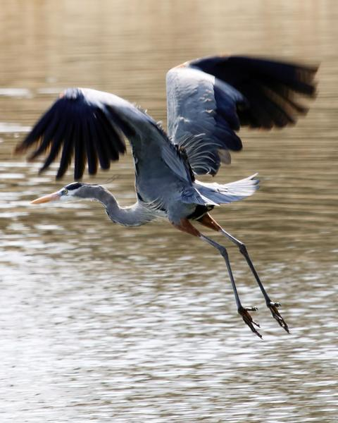 Great Blue Heron (Blue form)