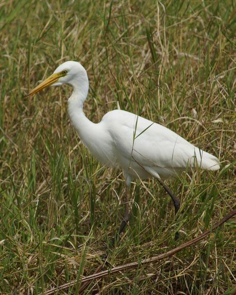Intermediate Egret