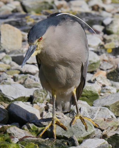 Black-crowned Night-Heron (Falklands)
