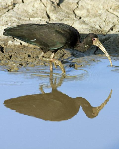 Bare-faced Ibis