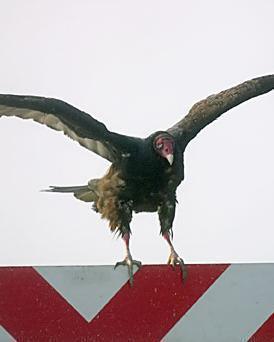 Turkey Vulture (Northern)