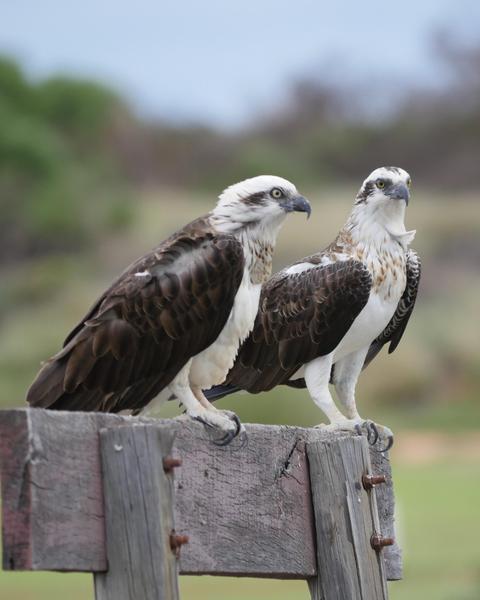 Osprey (Australasian)