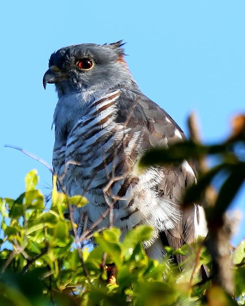 African Cuckoo-Hawk