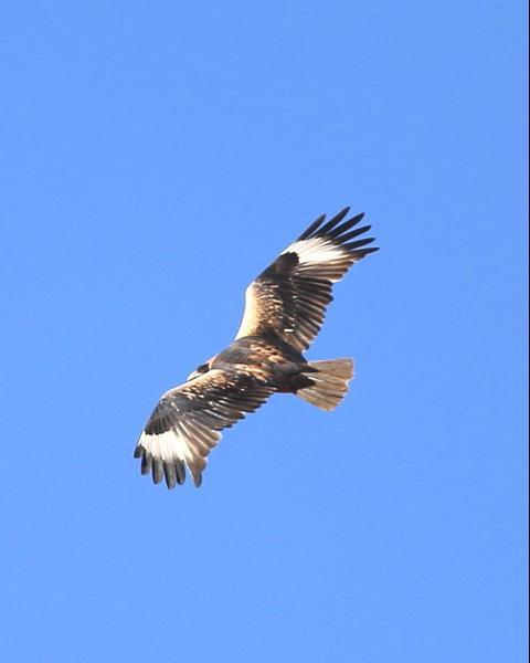 Black-breasted Kite