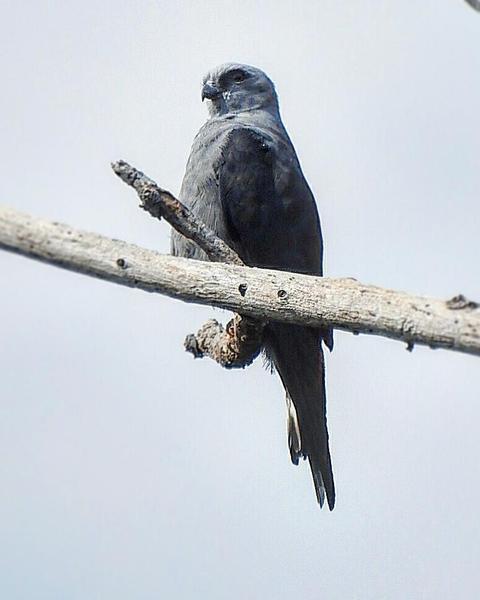 Plumbeous Kite