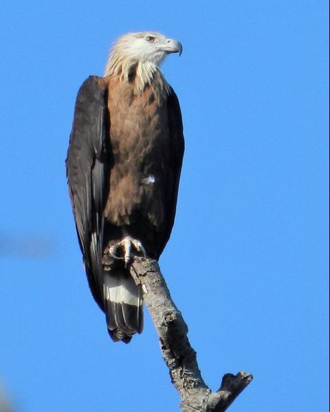 Pallas's Fish-Eagle