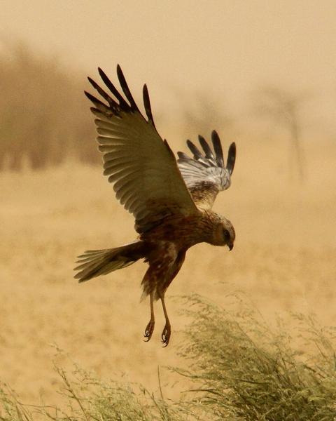 Eurasian Marsh-Harrier
