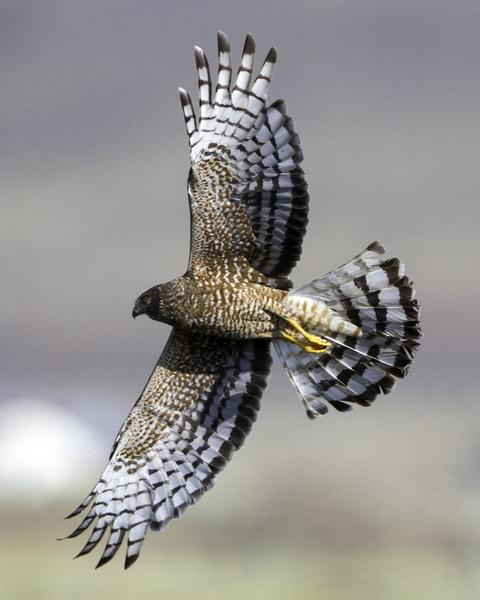 Cinereous Harrier