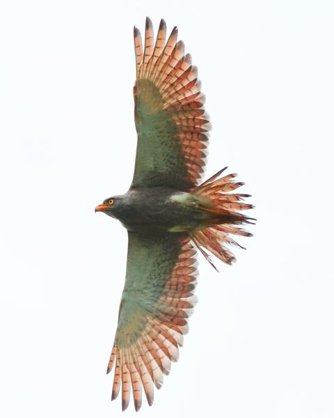 Rufous-winged Buzzard