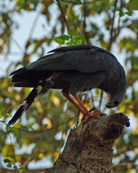 Crane Hawk