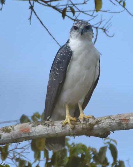 Gray-backed Hawk