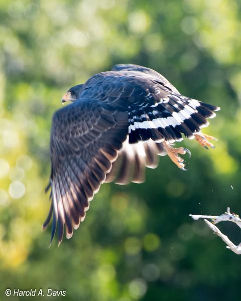 Cuban Black Hawk