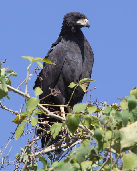 Great Black Hawk