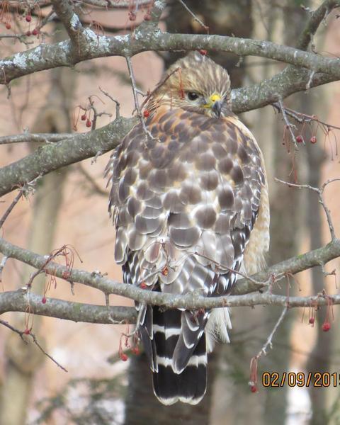 Red-shouldered Hawk (Eastern)