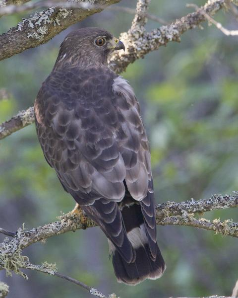Broad-winged Hawk