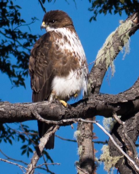 White-throated Hawk