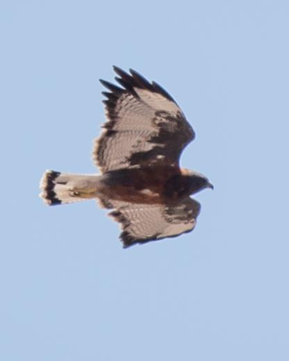 Variable Hawk