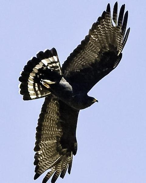 Zone-tailed Hawk