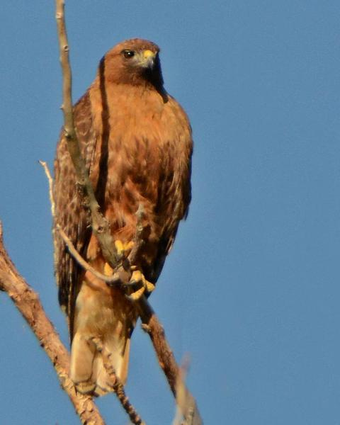 Red-tailed Hawk (calurus/alascensis)